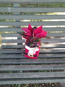 Lonely Poinsettia