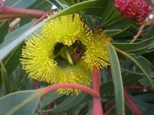 Red cap Gum flower