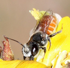 Megachile bicornis, Leafcutter Bee