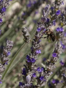 bee on lavender flower