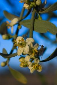 Desert Lime Flower