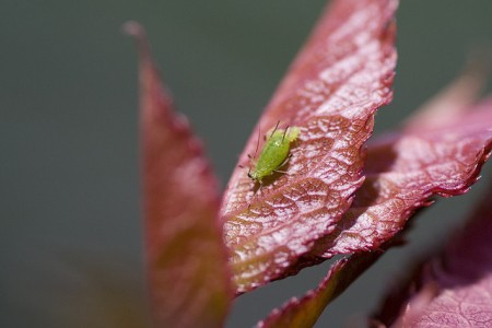 Aphid on rose