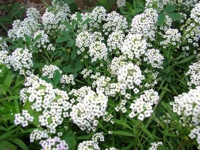 Lobularia maritima flowers