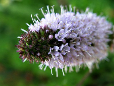 Mentha spicata flower