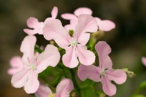 Stylidium eriopodum DC flowers