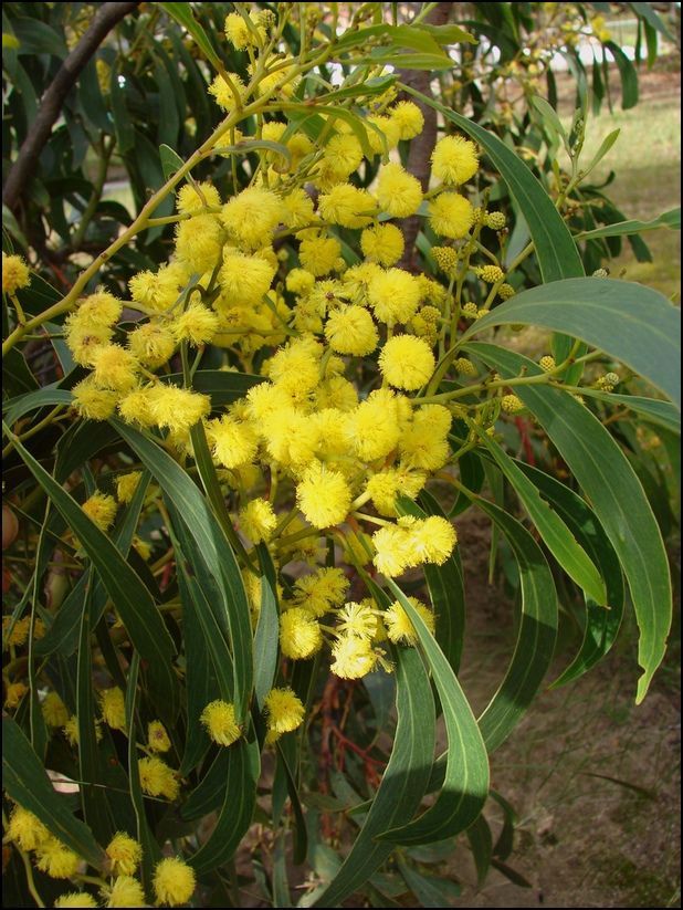 Golden Wattle Flower