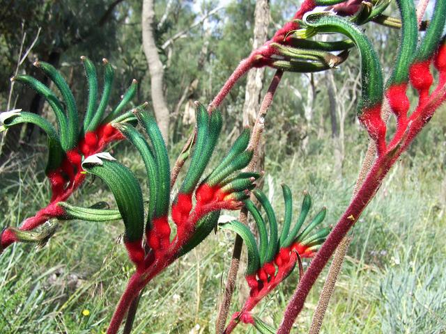 Anigozanthos manglesii flower