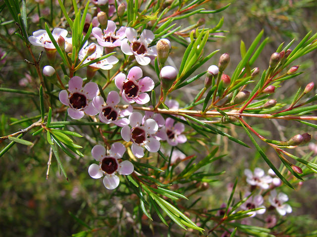 Chamelaucium uncinatum flowers
