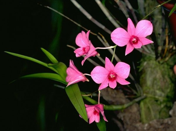Vappodes phalaenopsis (Fitzg.) flowers