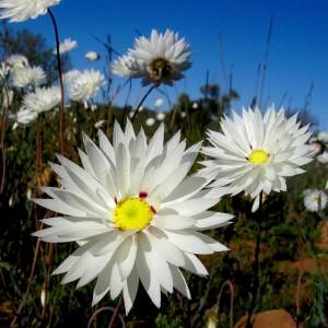 Rhodanthe chlorocephala (Everlastings) flower white