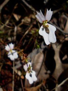 Stylidium calcaratum flower