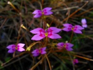 Stylidium fluminense flower