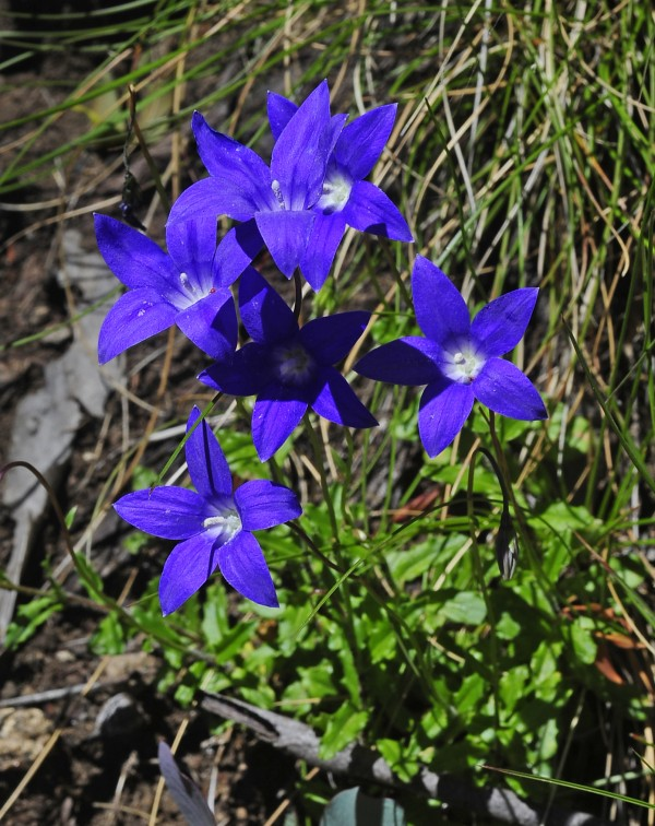 Wahlenbergia gloriosa flowers