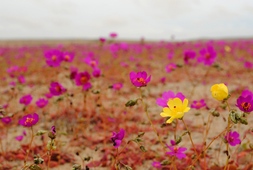 Field of flowers in the Atacama Desert