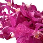 Orchids -- Official flower of Hong Kong and Honduras