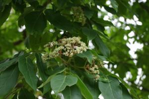 Bee Bee Tree Flower