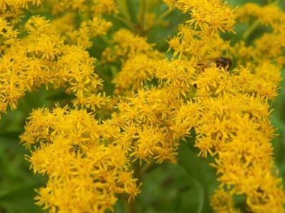 Solidago canadensis flower