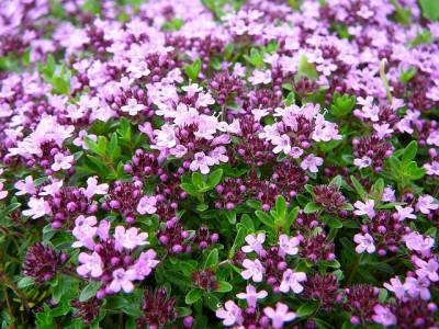 Thymus serpyllum flowers