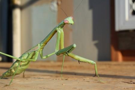 Use Mantis instead of Pesticides