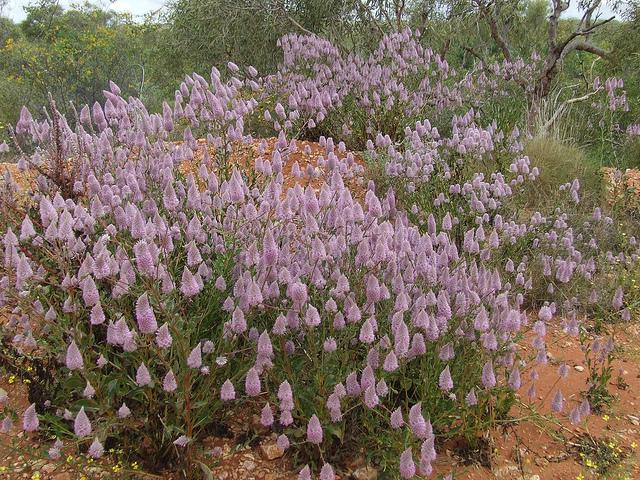 Ptilotus exaltatus Purple Mulla Mulla