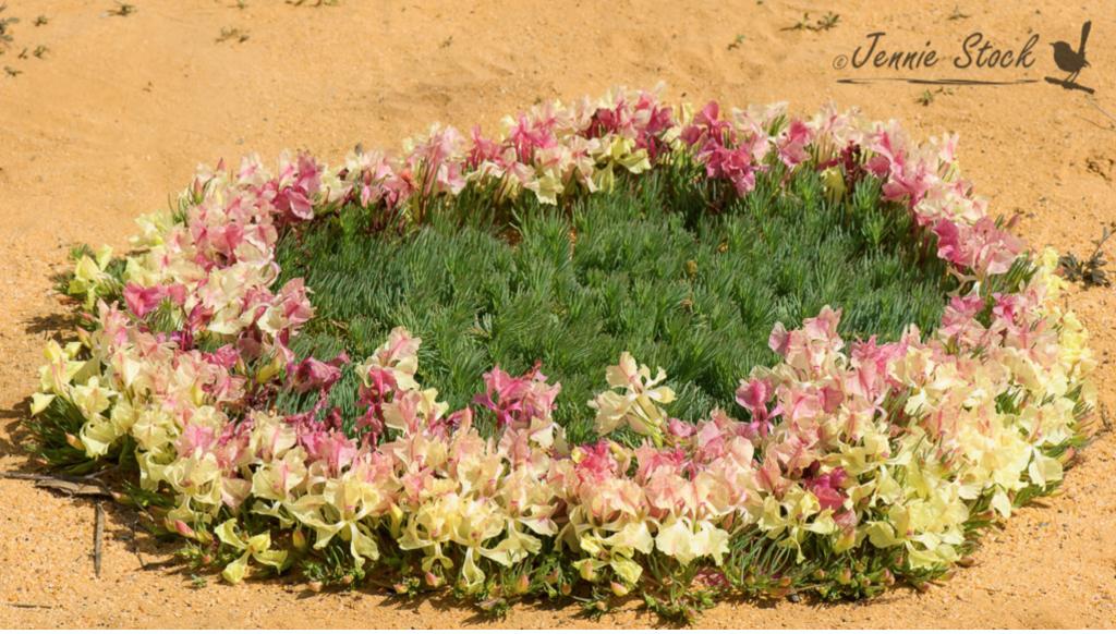 Wreath Lechenaultia