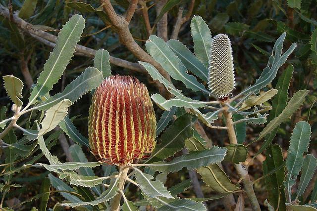 Banksia_menziesii flower