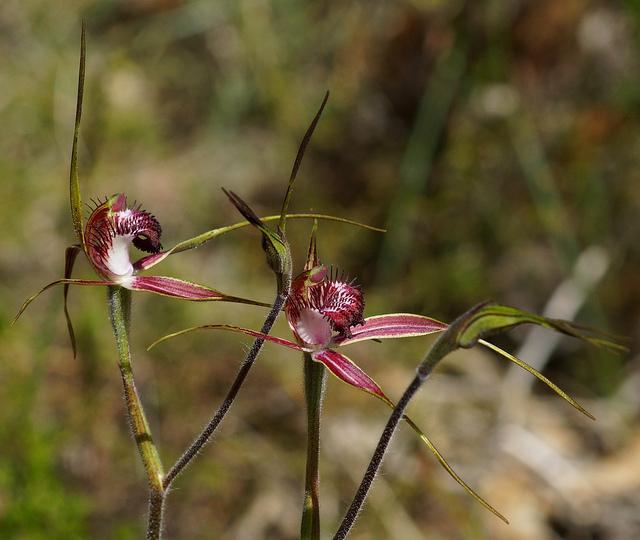 Caladenia arenicola, spider orchid flowers