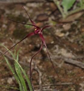 Caladenia dundasiae flower