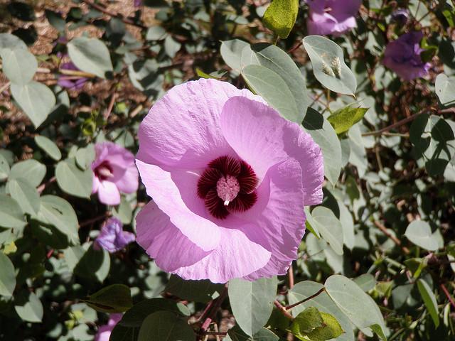Gossypium sturtianum flowers