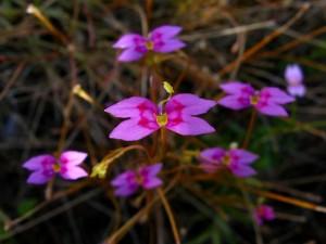 Stylidium fluminense flower