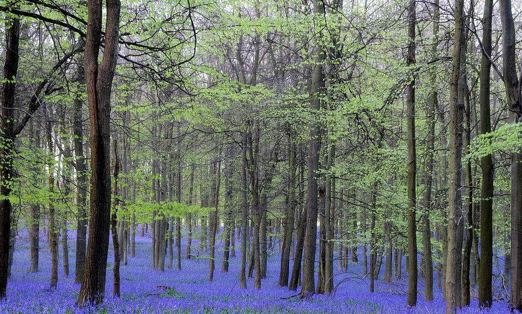 Ashridge Woods bluebells 1