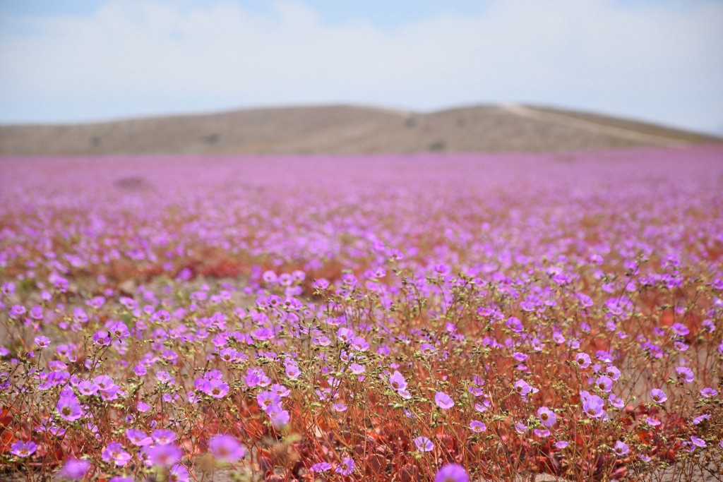 Cistanthe grandiflora flowers