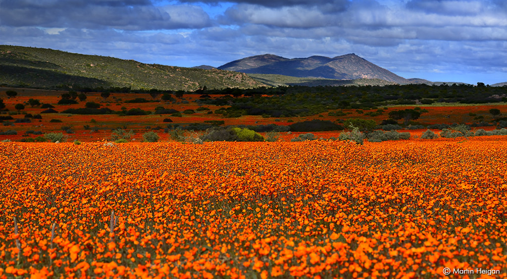 Field of flowers at the Namaqua National Park
