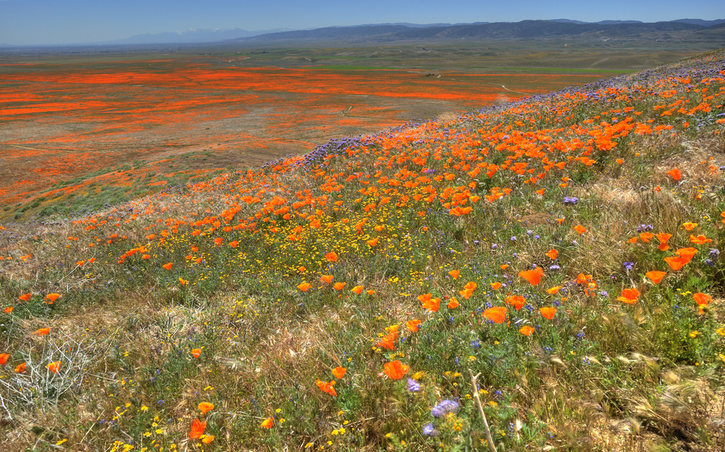 Field of flowers in the Antelope Valley poppy reserve