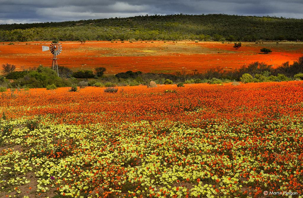 wildflowers of Namaqualand
