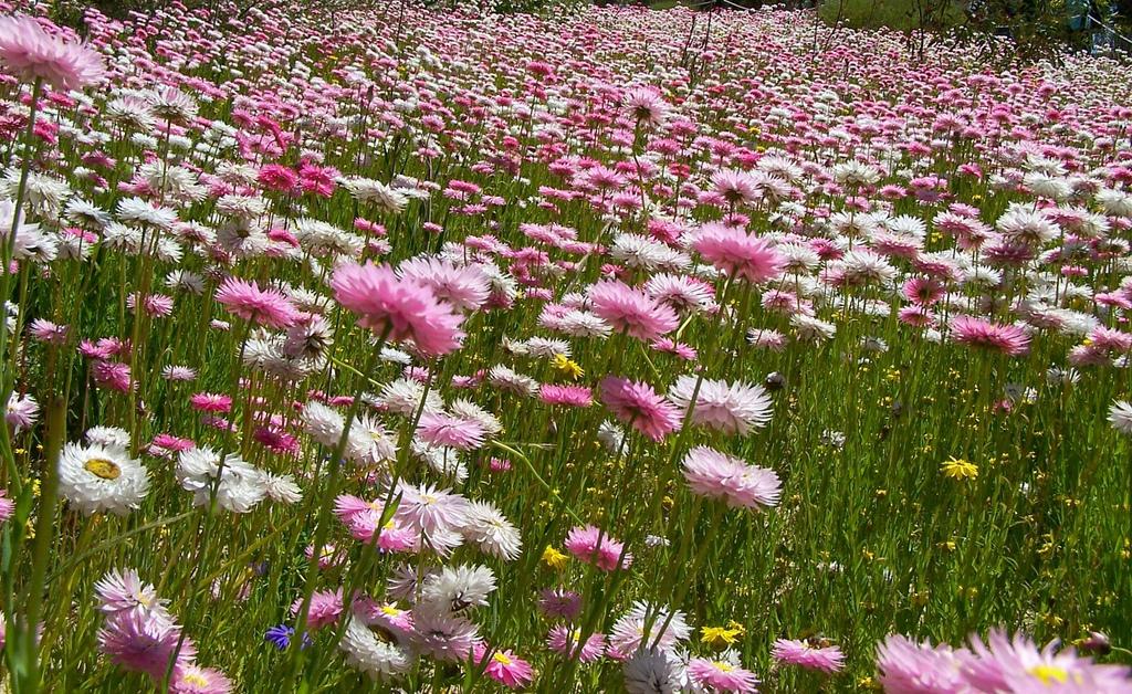 Field of flowers at Kings park, Perth Australia