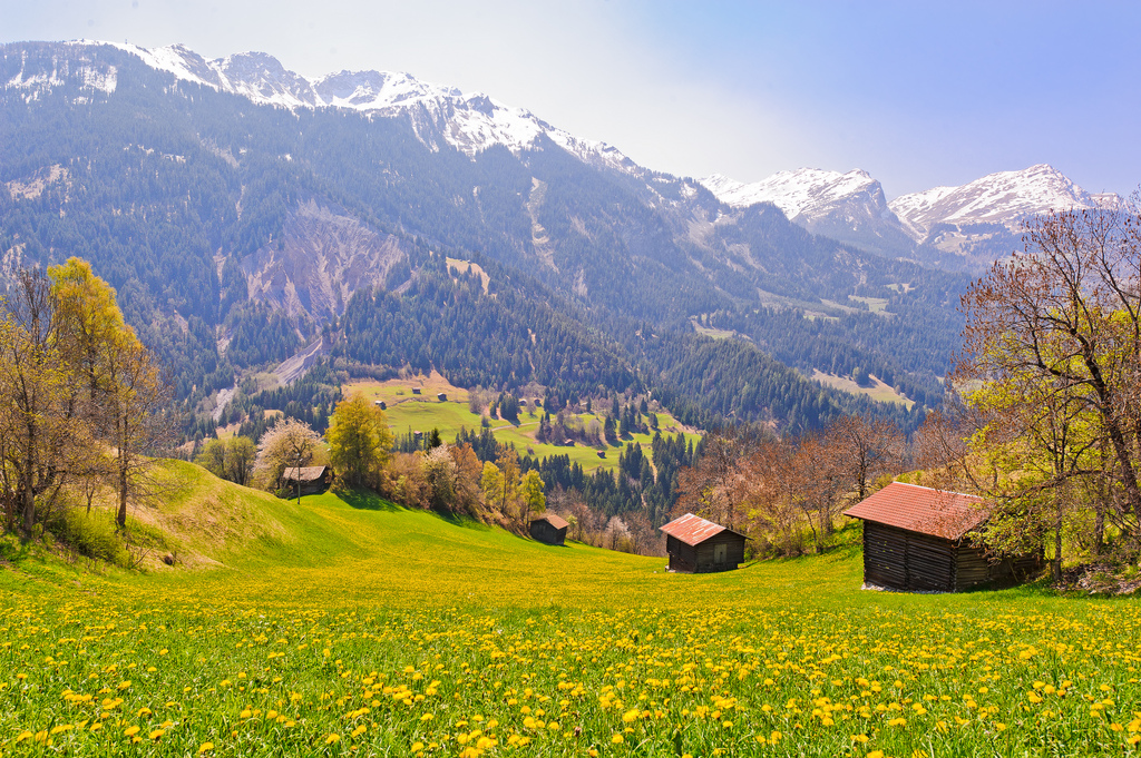 Swiss alps flower field