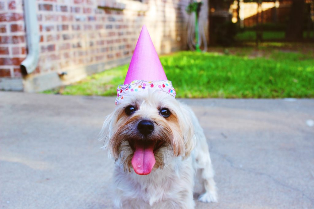 A small dog with cream colored fur sticks its tongue out while wearing a party hat