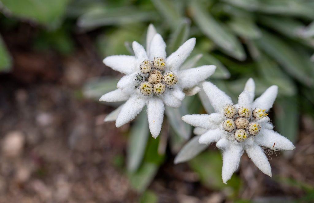 Edelweiss – Austria