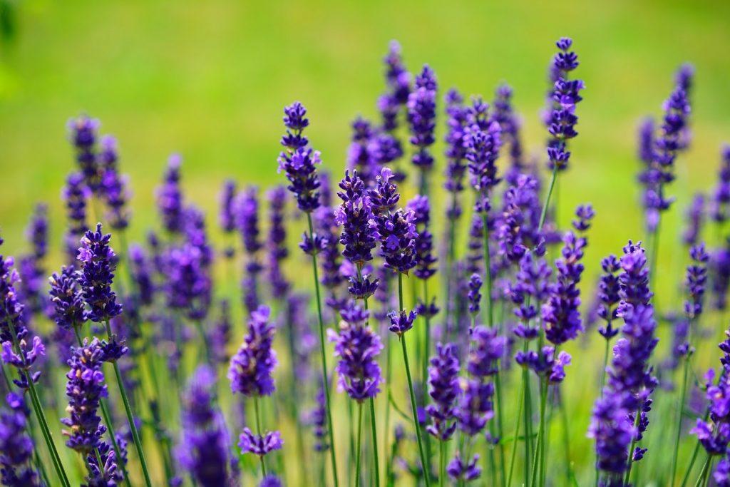 Lavender - Portugal