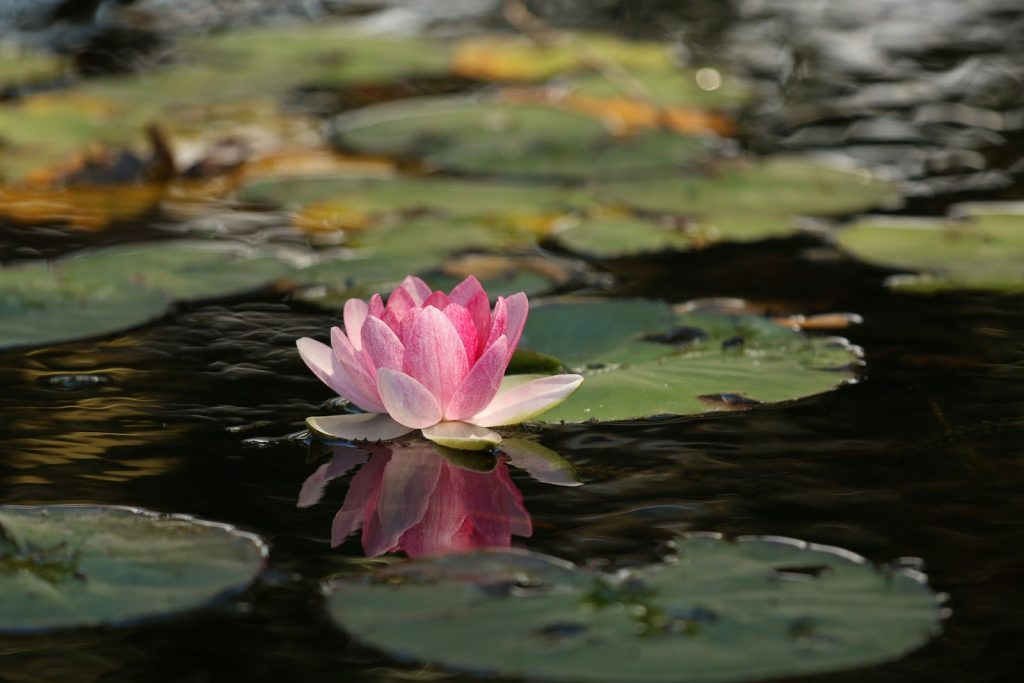 Lotus - Official Flower of India