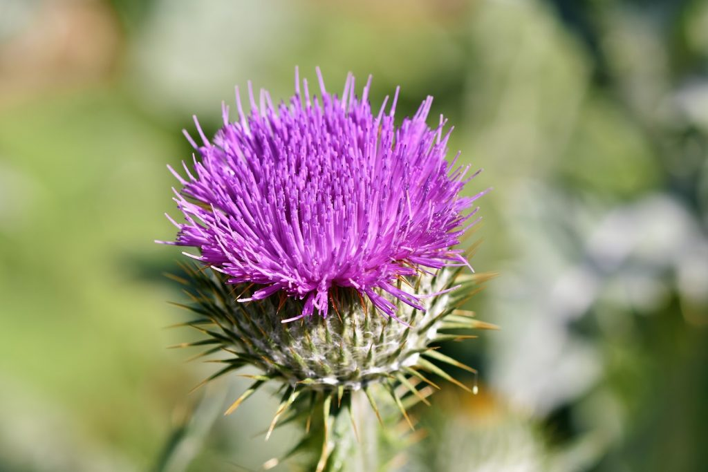 Thistle – Scotland and Lorraine