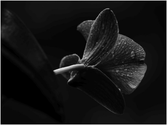 Black Orchid – Belize