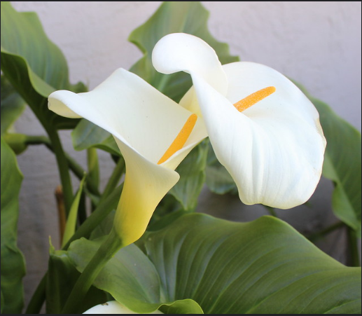 Calla Lily – Ethiopia and Saint Helena