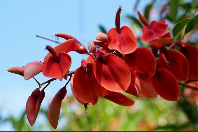 Ceibo Erythrina - Uruguay