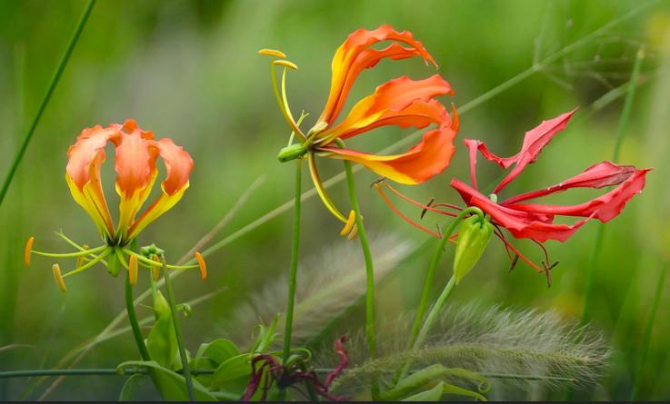 Flame Lily - Zimbabwe