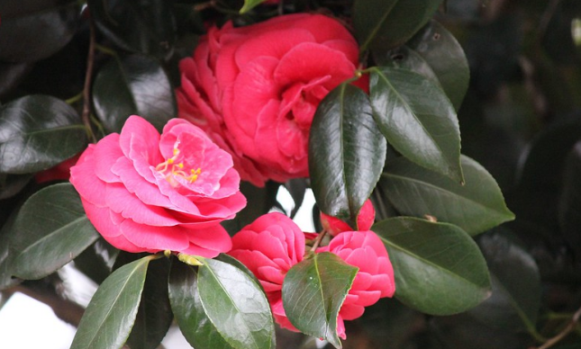 Rose – Slovakia