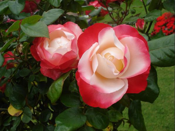 Tudor Rose - England