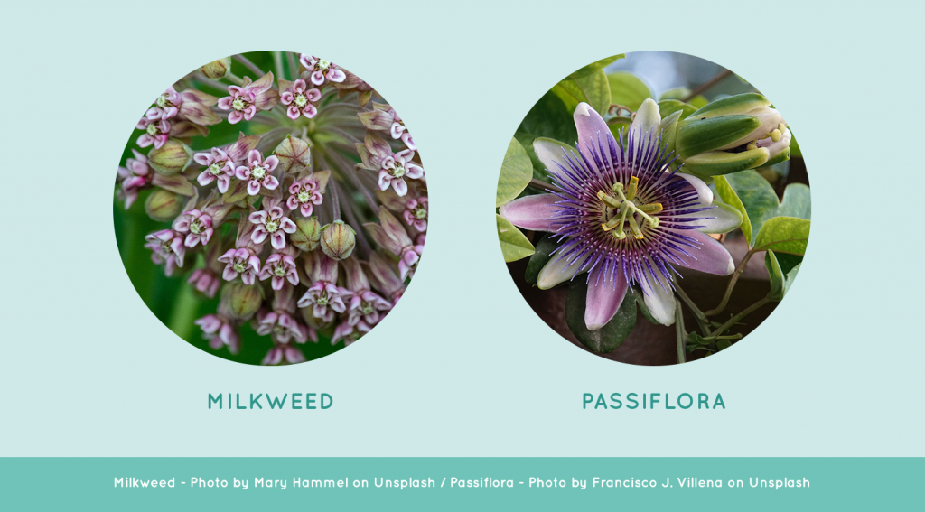 Milkweed and Passiflora flowers