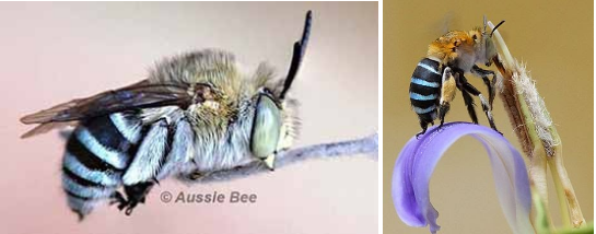 Blue Banded Bees, Aussie Bees, Bee Hotel